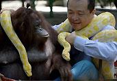 猩猩与巨蟒蛇成一家
